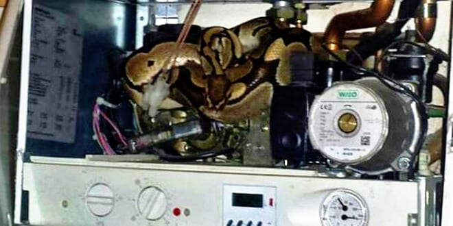 Popular - Family finds 4ft python in their boiler