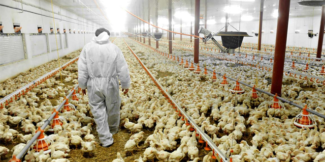 chicken farming web